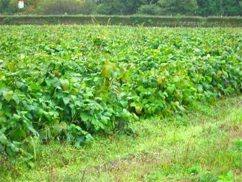 見渡す限りの黒豆畑