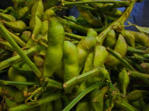 奇麗にそうじされた黒豆の枝豆