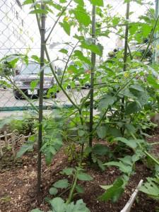 5月30日のプチトマト