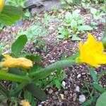 可愛い胡瓜が育ち始めています